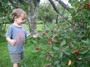 These cherries are just the right height for me to pick.